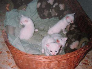 little white kittens in a basket