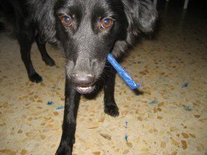 Dog with blue pencil in her mouth