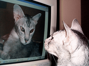 A cat sees herself on a computer screen