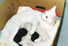 Snow-white cat nursing