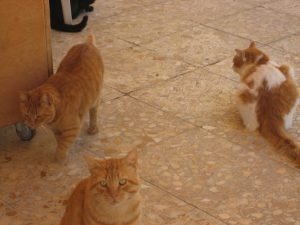 2 red cats and one red-white cat