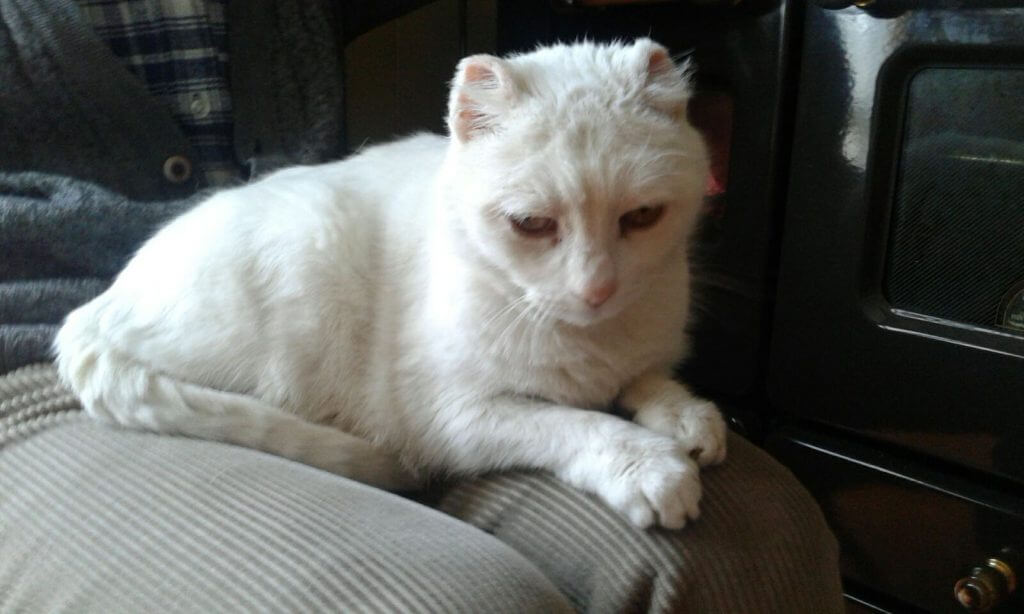 White cat with cut ears