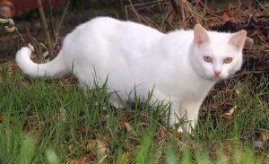 A white cat like SnowWhite