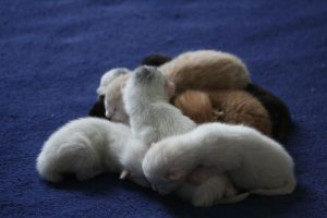 A breed of kittens