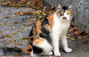 A colored cat like Arlechina