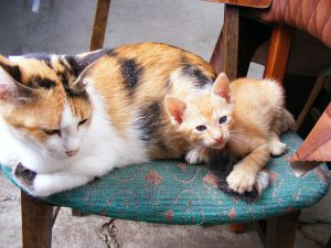 Colored cat like Princess Arlechina with a kitten