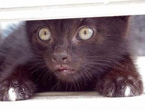 black kitten hiding under the door, watching